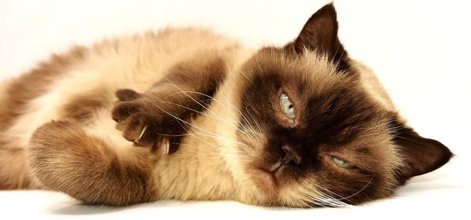 Problemas de salud en gatos y remedios