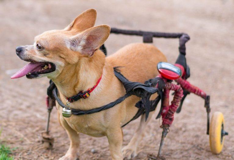 causas de parálisis en perros