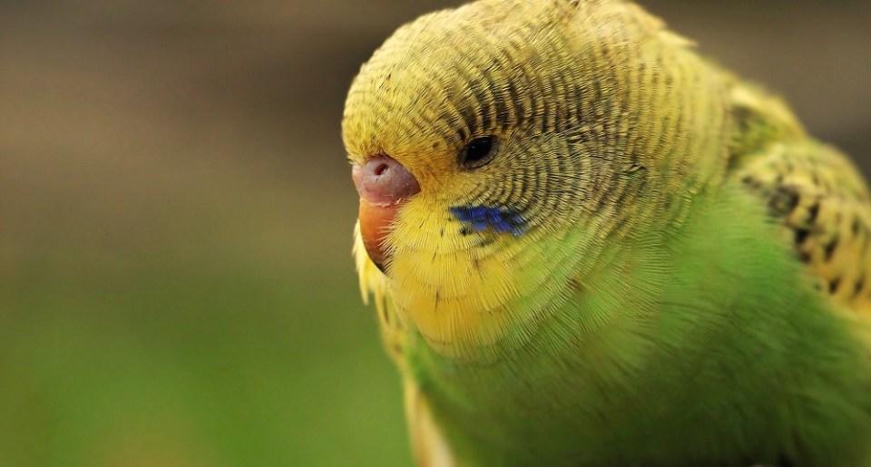 Cómo curar la depresión en un pájaro