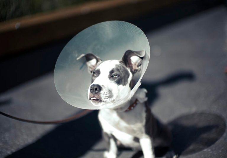 El collar isabelino es no de los accesorios veterinarios más recomendados