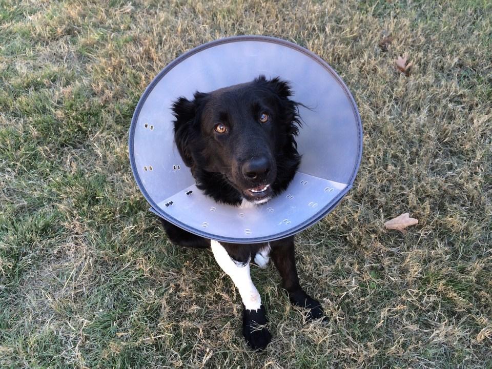 El cuello o cono isabelino puede ser incómodo pero es necesario para nuestro perro