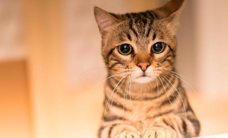 causas de parálisis en gatos