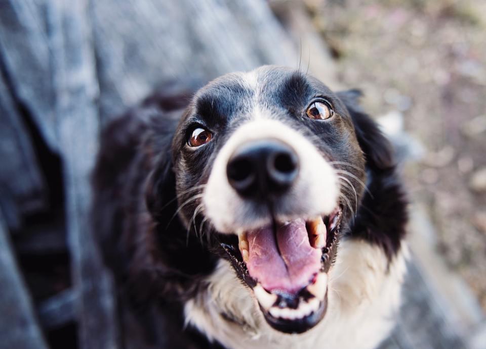 Si cuidas la dentadura de tus perros no solo estarán sanos sino que serán felices