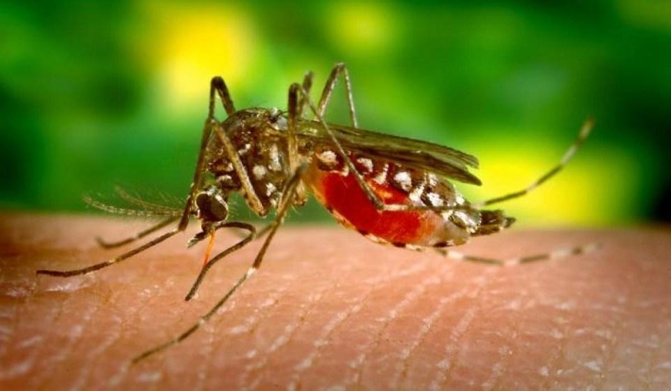 El mosquito Anopheles, el mosquito más letal