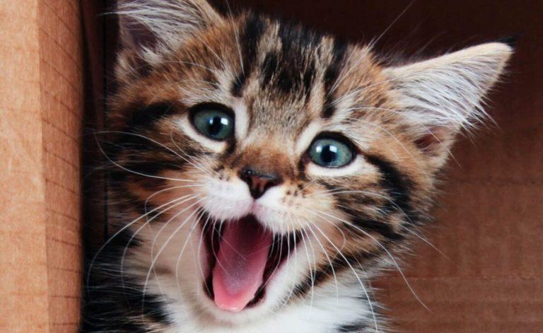 enfermedades mentales en gatos