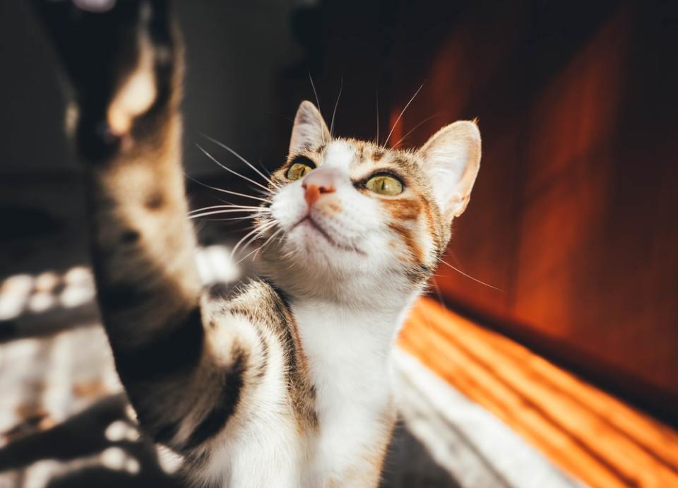 Los gatos maúllan pidiendo alimento o cuando buscan cariño