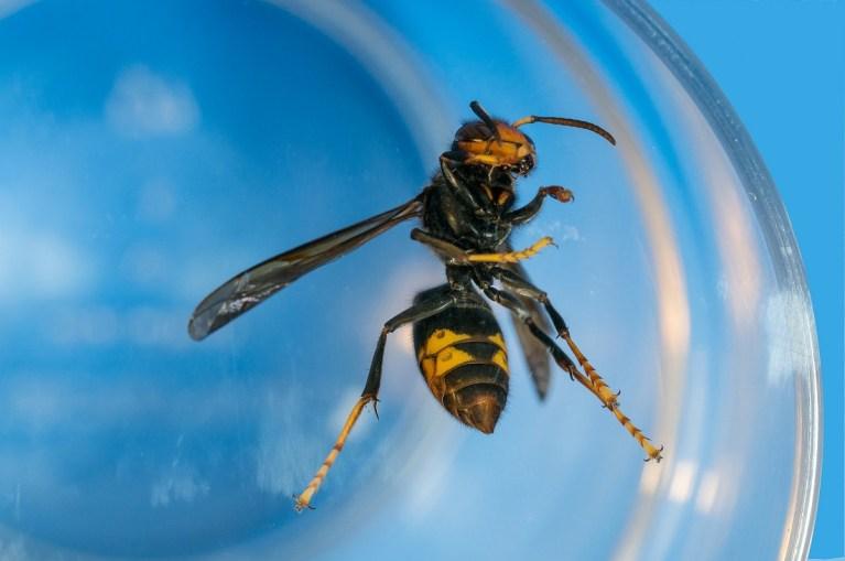 Por qué es tan peligrosa la avispa asiática