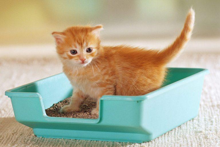 Todo lo que necesitas saber sobre la higiene en gatos