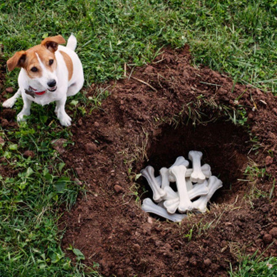 por qué los perros entierran su comida