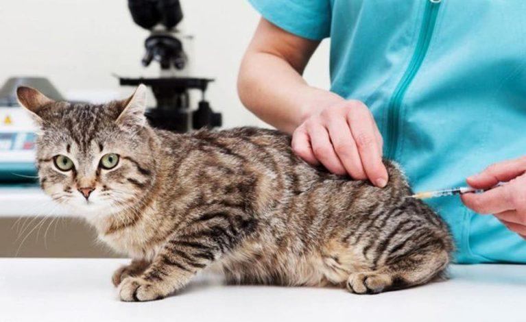 Calendario de vacunación para gatos