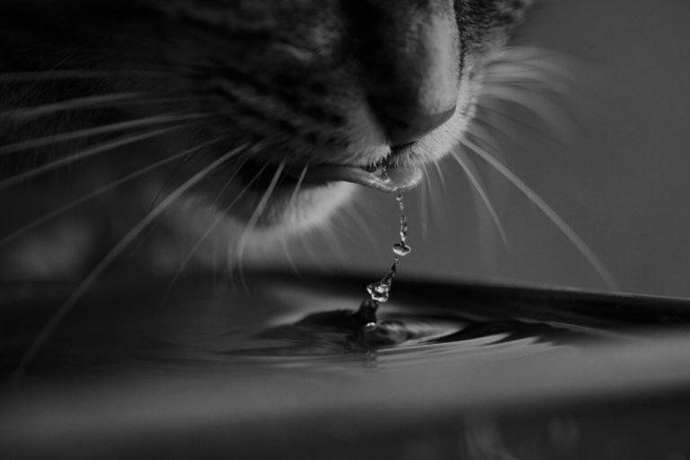 ¿Sabes cuánta agua debe beber un gato al día?