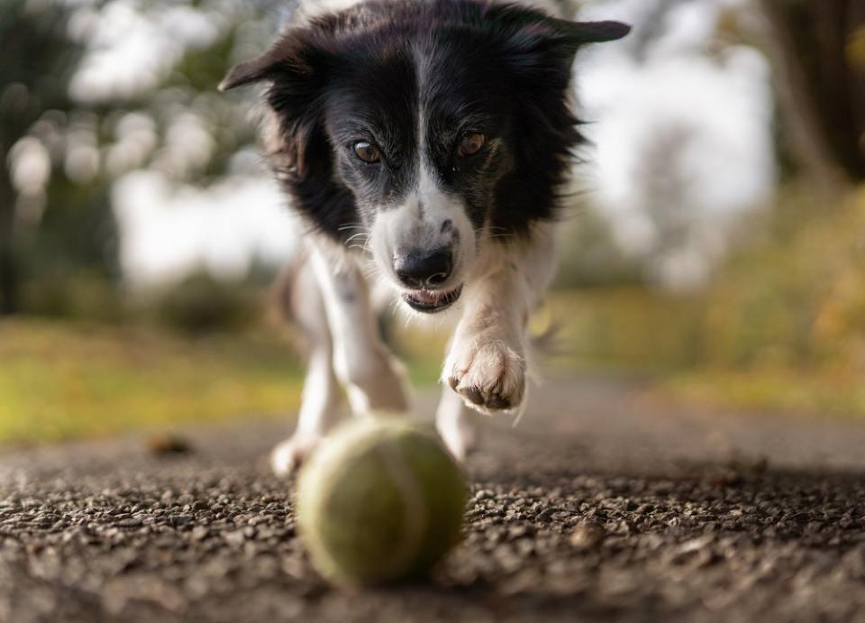 Jugar es una de las actividades que puedes seguir para conseguir que un perro pierda peso sin demasiado esfuerzo