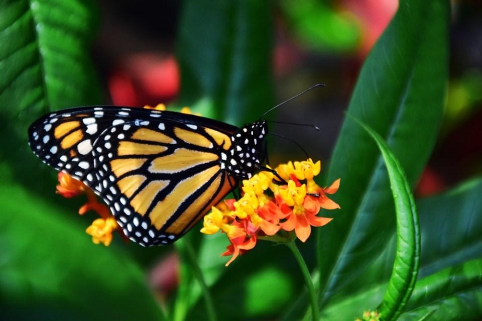 misteriosa migración mariposas monarca
