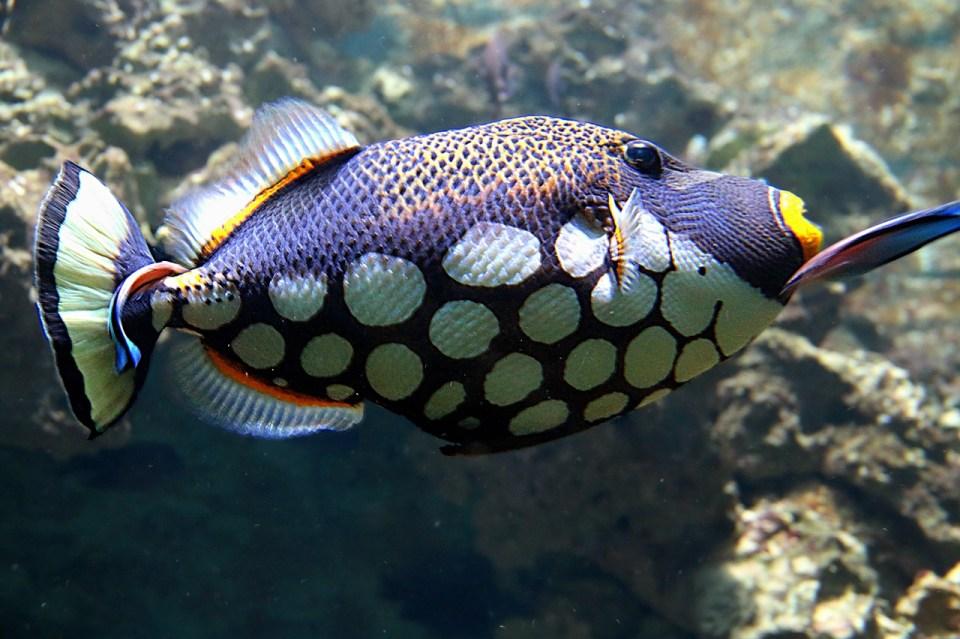 Algunos de los peces más agresivos suelen ser territoriales