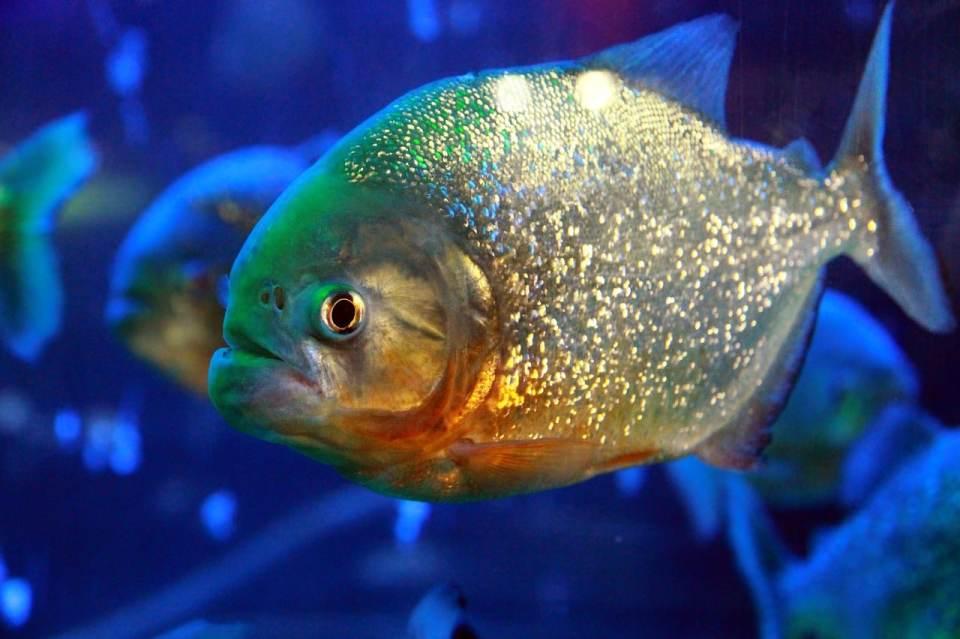 peces más agresivos de agua caliente
