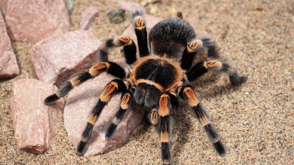 Las tarántulas son animales solitarios, por eso es mejor no juntar un escorpión y una tarántula