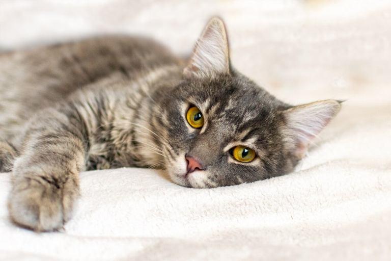 bartonella en gatos