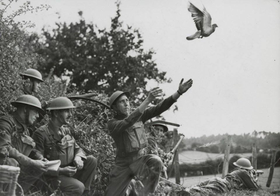 palomas mensajeras en el ejército