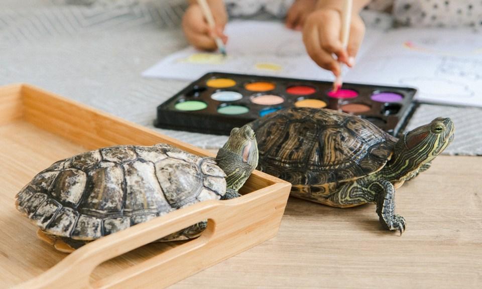 Riesgos de manipular tortugas sin medidas de precaución