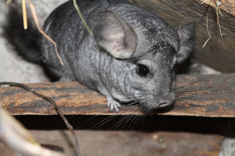 Chinchilla como mascota