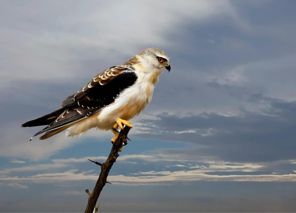 El halcón, junto con el cuervo, el pájaro carpintero y el búho, son animales espirituales. ¿Conoces el tuyo?