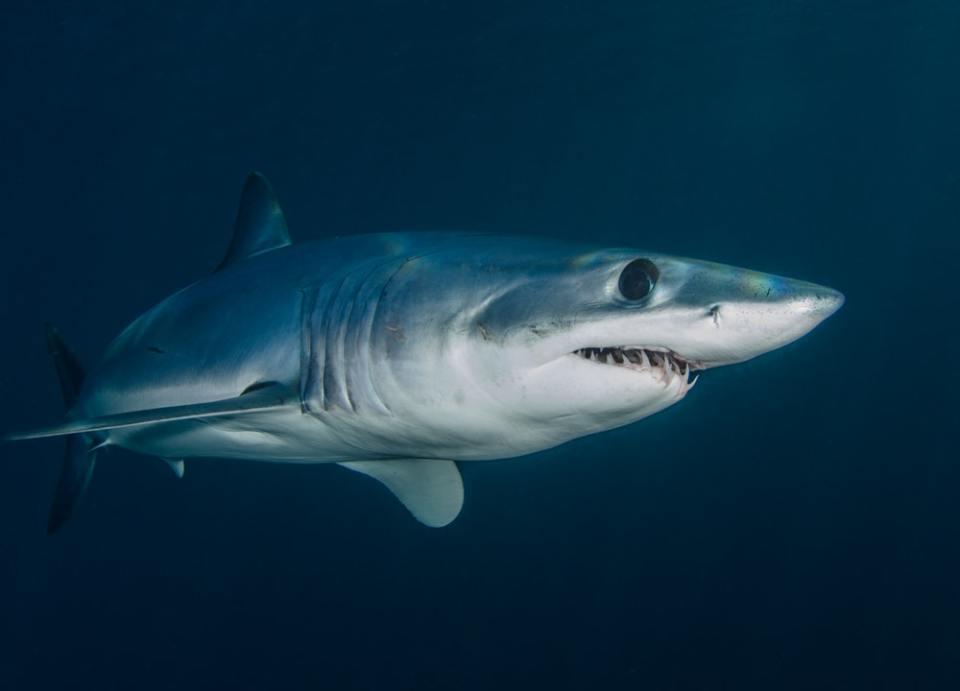 Más de 100 millones de tiburones mueren a causa de la pesca