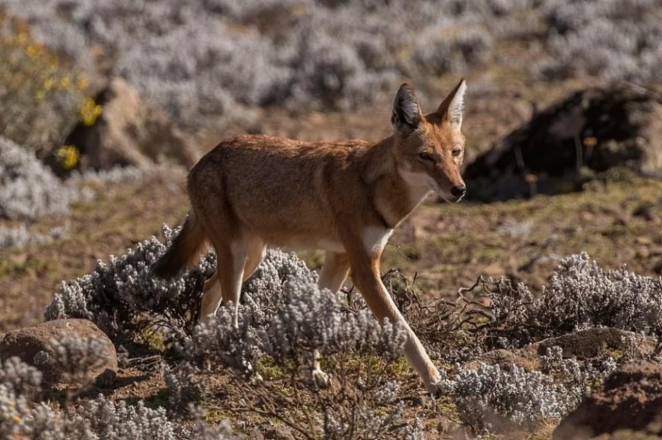 El lobo abisinio o etíope vive en la montaña
