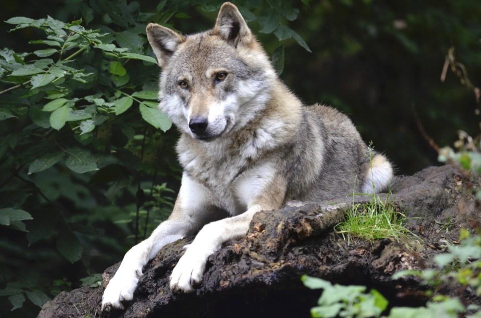 El lobo gris es una de las especies de lobos en peligro de extinción