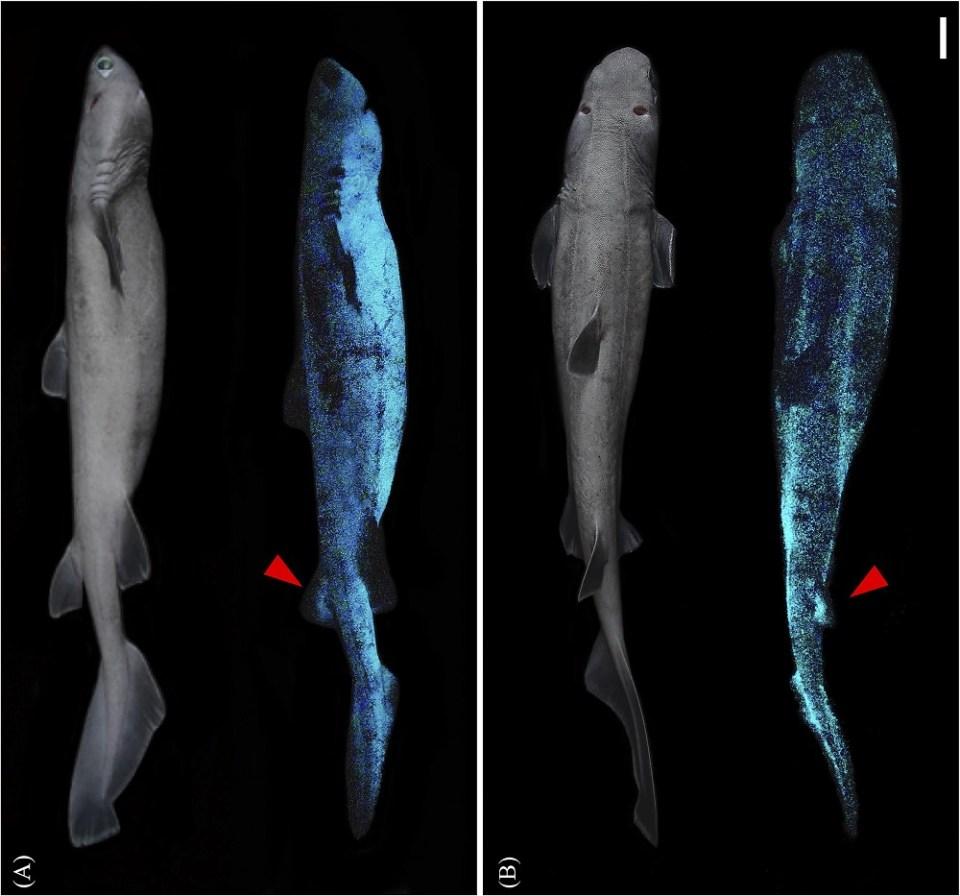 El tiburón luminoso más grande del mundo mide 1,80 metros