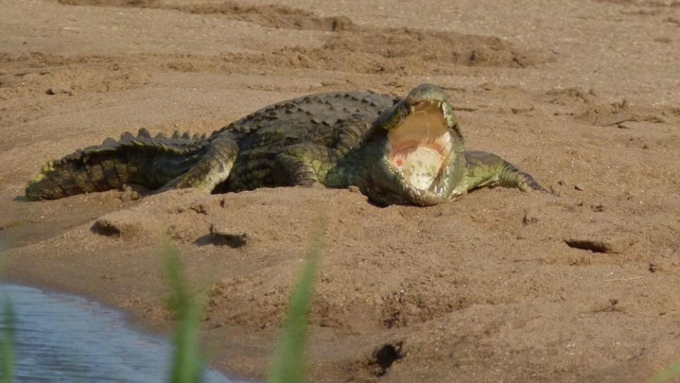 El cocodrilo del Nilo ha acuñado un método para comer: el giro de la muerte