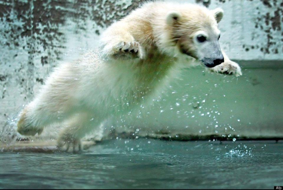 dieta de los osos polares