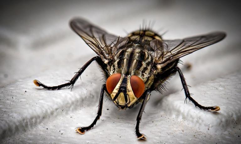 El problema no es cuánto vive una mosca si no lo que es capaz de hacer en su corta vida