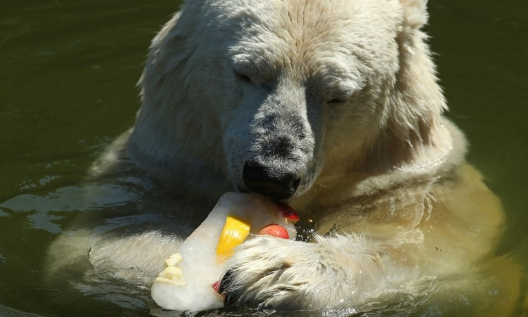 qué comen los osos polares