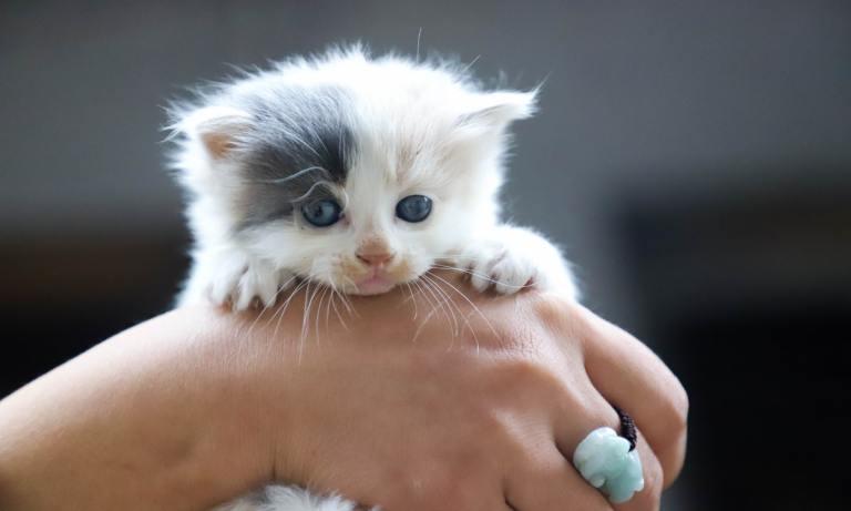 Esterilizar a una gata tiene múltiples beneficios para la salud del animal
