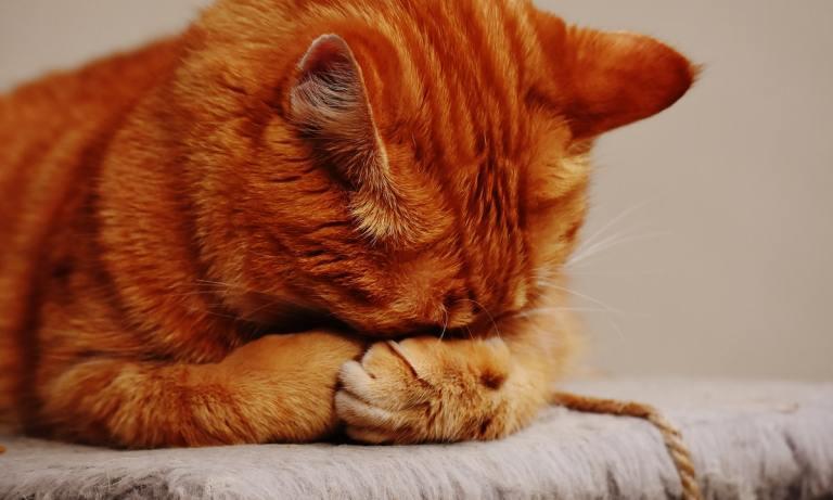La toxoplasmosis en gatos puede transferirse a los humanos