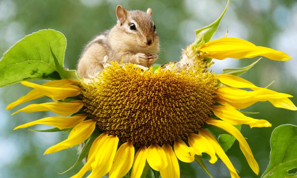 Semillas y granos, uno de los alimentos que comen estos pequeños mamíferos