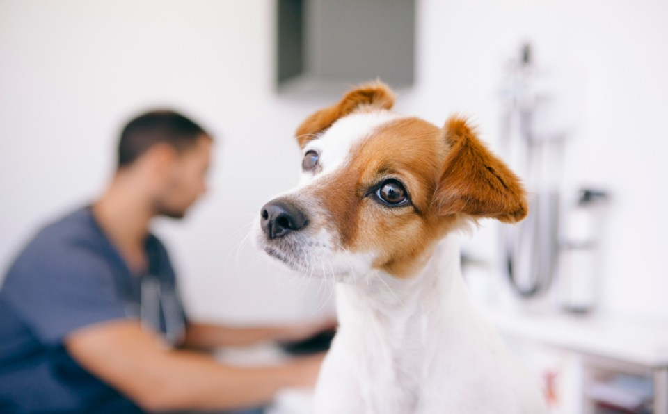 esterilizar perra