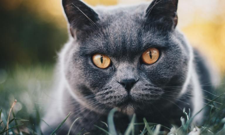 El gato British es una de las razas más populares y tiene infinidad de colores