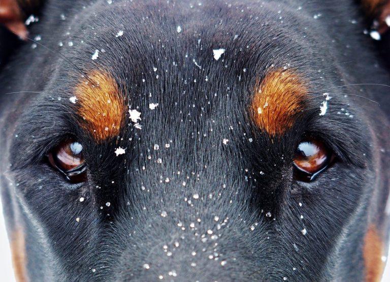 El perro Doberman es un perro muy dócil y cariñoso