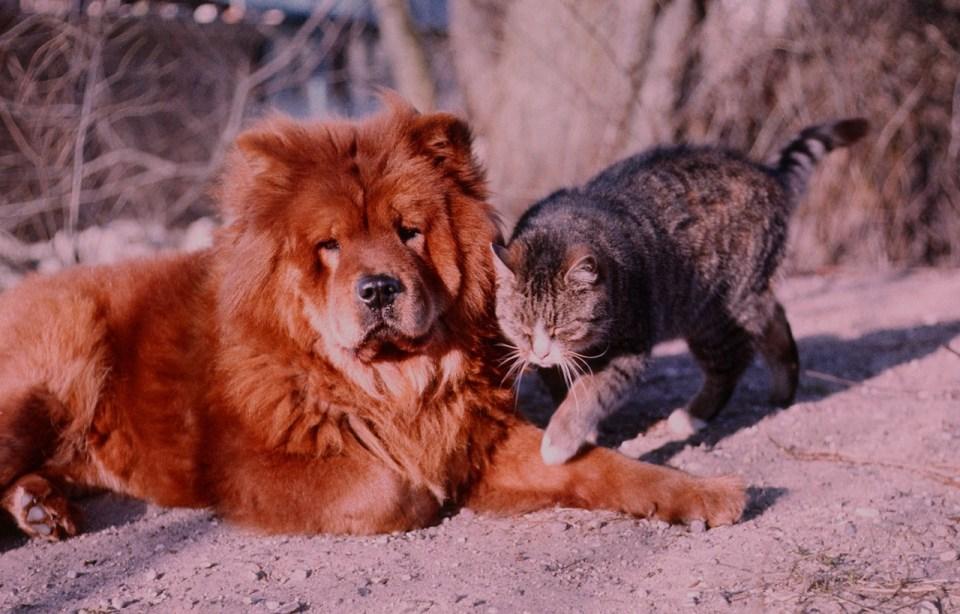 Estos perros deben recibir adiestramiento para convivir con otras mascotas y niños