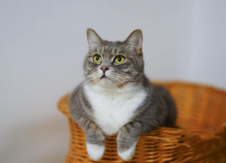 para dar diazepam a un gato, el veterinario debe prescribirlo