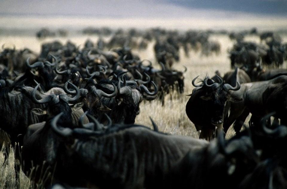 ñu animal vive en manada