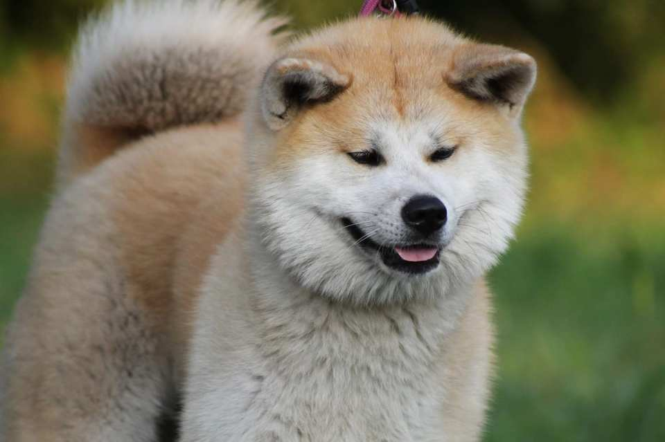 Akita Inu cachorro