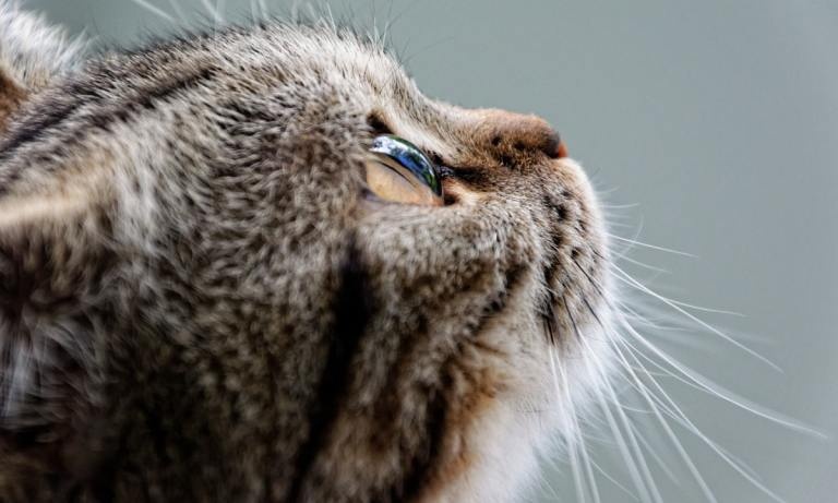 El gato romano puede vivir hasta 16 años