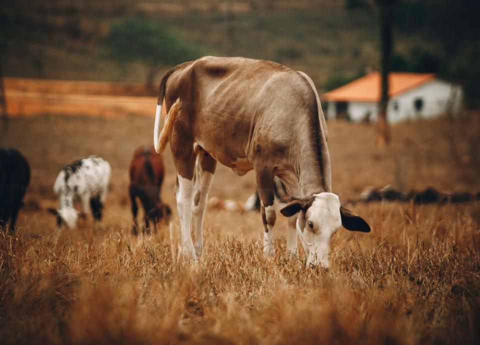 La vaca tiene un único estómago dividido en cuatro partes