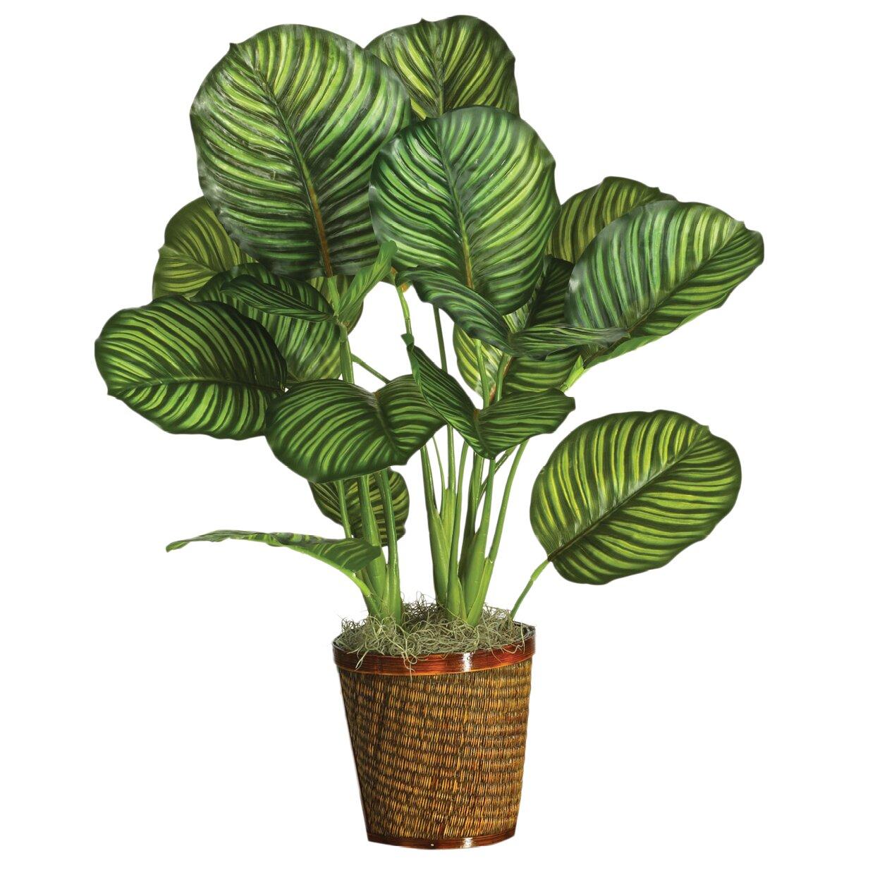 Calathea div Soorten  Almeer Plant