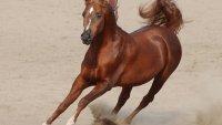 اسماء خيول عربية اصيلة 2022