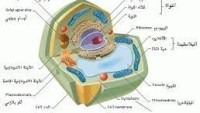 تصنع الخلايا الحيوانيه غذاءها بنفسها لانها تفتقر الى