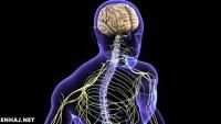 النسيج الذي ينقل رسائل الجسم هو النسيج