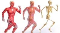 يقدم الجهاز الهيكلي الحماية للأعضاء الداخلية